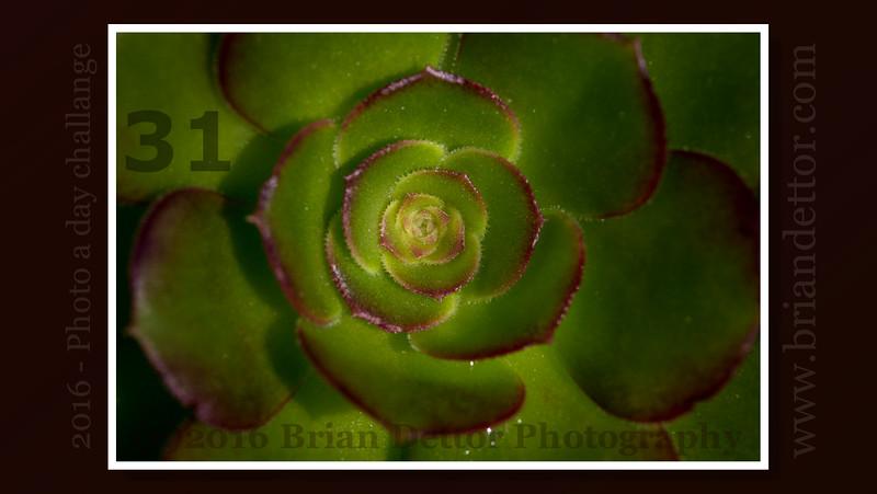 Day #31 - Backyard Succulent
