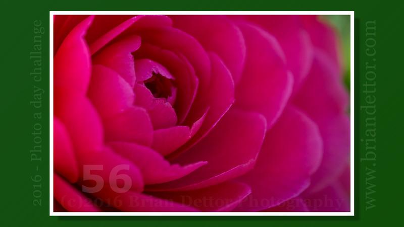 Day #56 - Camellia (Barbara's Garden)