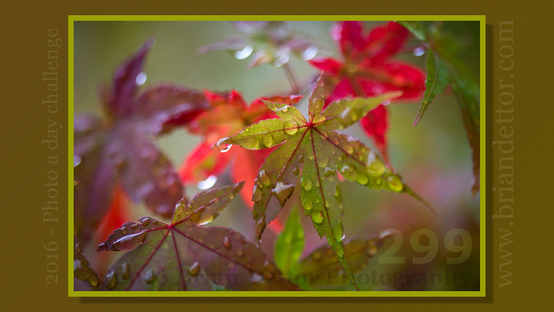 Day #299 - Fall Maple Raindrops