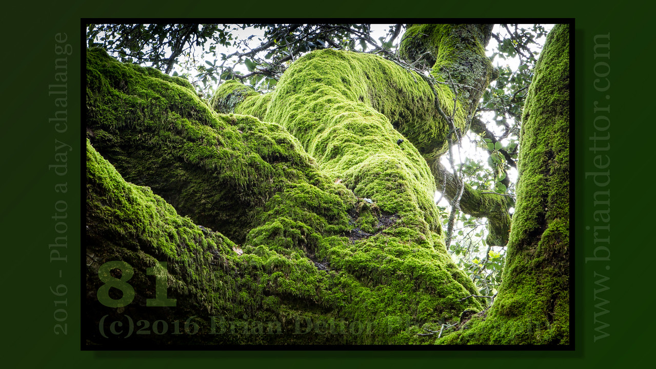 Day #81 - Mossy Tree (Blackstone Canyon)