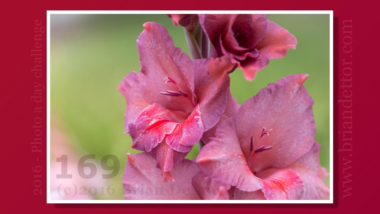 Day #169 - Gladiolus (Niccole's Garden)