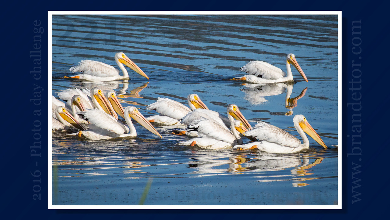 Day #221 - White Pelicans at Las Gallinas Wildlife Ponds