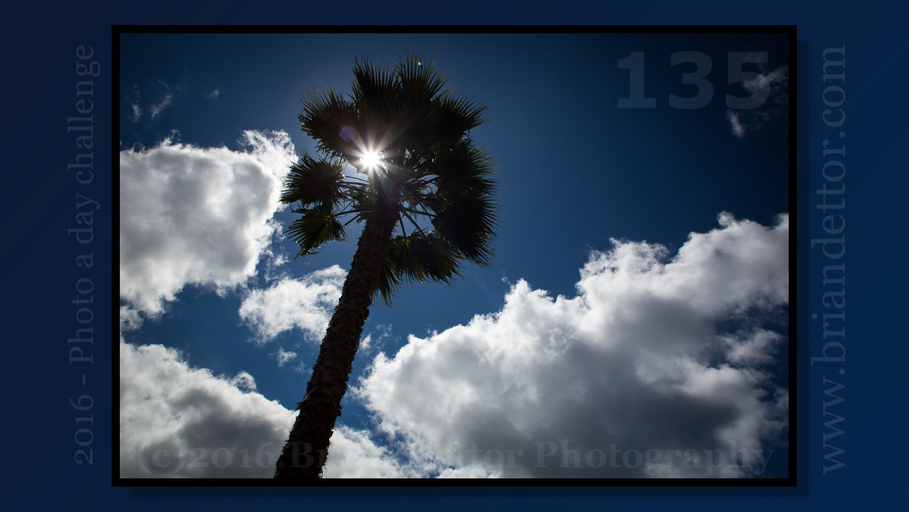 Day #135 - Sunny Palm