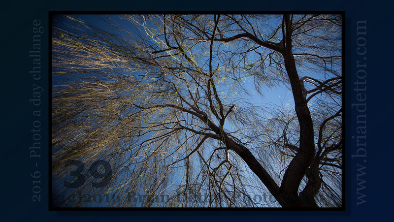 Day #39 - Winter Willow