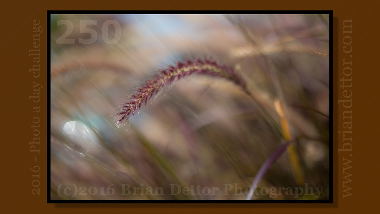 Day #250 - Fountain Grass