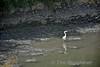 A Grey Heron at Fota. Sat 27.08.16