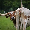 A Cow Named Noodle