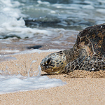Green Sea Turtle, an Endangered Species, Travels Back to Ocean