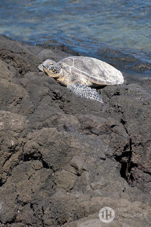 Sea Turtle on the Shore