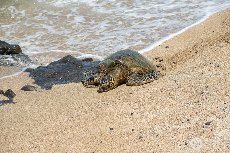 Turtle Asleep at the Edge of the Sea