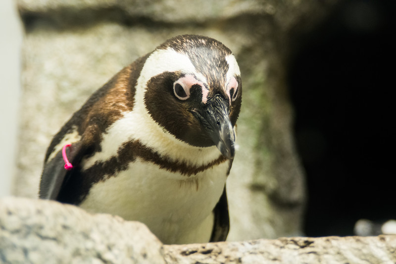 Penguins CM-3