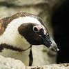 Penguins CM-4