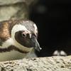 Penguins CM-2