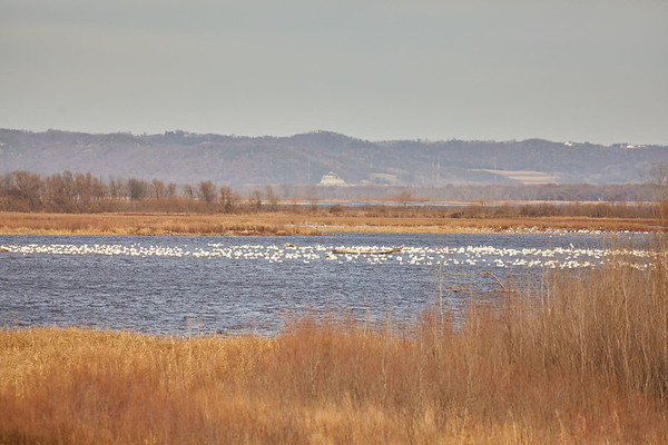 2017_Geography_Tundra_Swans_Brownsville_0043