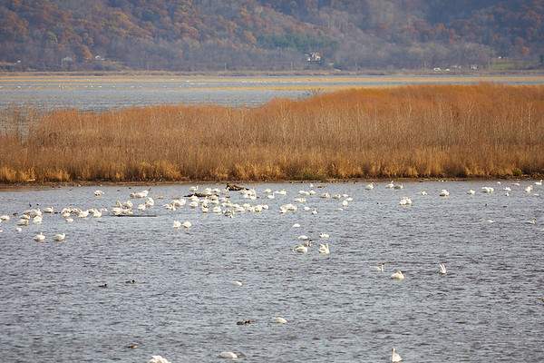 2017_Geography_Tundra_Swans_Brownsville_0047