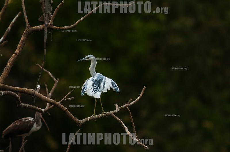 Costa Rica :  Garza Azul , (Egretta Caerulea)Cipanci Wildlife Reserve , Guanacaste / Costa Rica : Vogel © Víctor Jaramillo/LATINPHOTO.org