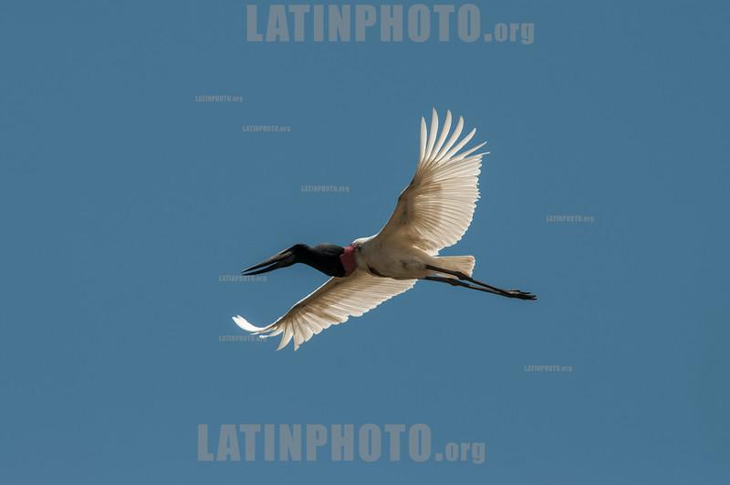 Costa Rica : Cipanci Wildlife Reserve , Jabirú , Galán sin Ventura / The Jabiru ( Jabiru mycteria ) is one of the largest waterfowl in the world and is considered a regionally threatened species - In Costa Rica it is found only in the basins of the Tempisque and Guatuzos rivers / Costa Rica :  Der Jabiru ( Jabiru mycteria ) ist ein monotypischer Storchenvogel © Víctor Jaramillo/LATINPHOTO.org