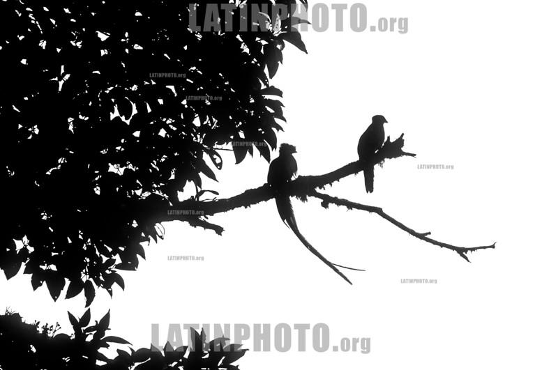 Costa Rica : Quetzals , Female and male , Monteverde / Costa Rica : Vögel bei Monteverde © Víctor Jaramillo/LATINPHOTO.org