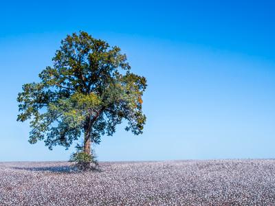 Oak in Cotton by Dave Warren