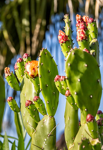 Prickly pear cactus in Palm Desert, California