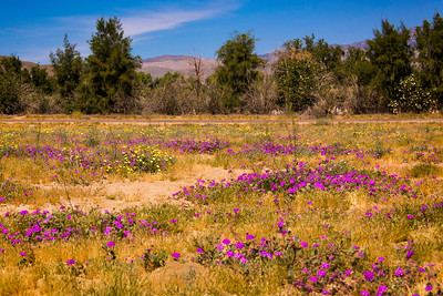 Flower field at Anza-Borrego State Park in California