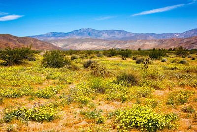 Flower fields at Anza-Borrego State Park in California