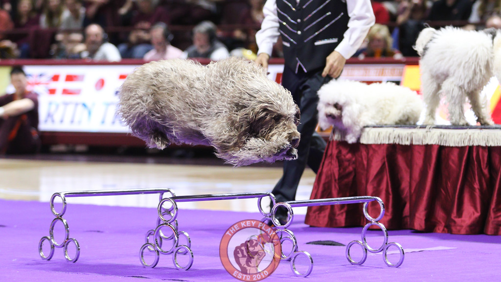 """A dog member of the America's Got Talent show """"Olate"""" performs for the crowd during halftime. (Mark Umansky/TheKeyPlay.com)"""