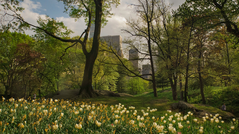 Tulips in Central Park, NYC
