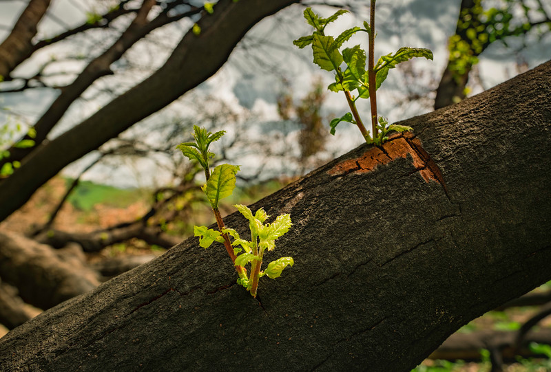 Oaks Are Resilient