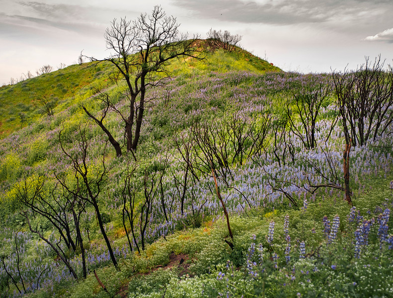 Hillside with Lupine, April 12