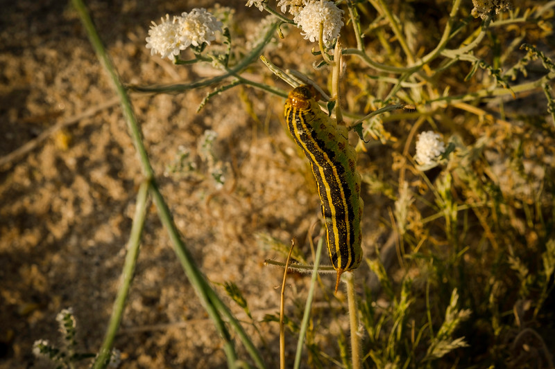 Sphinx moth caterpillar going for these flowers