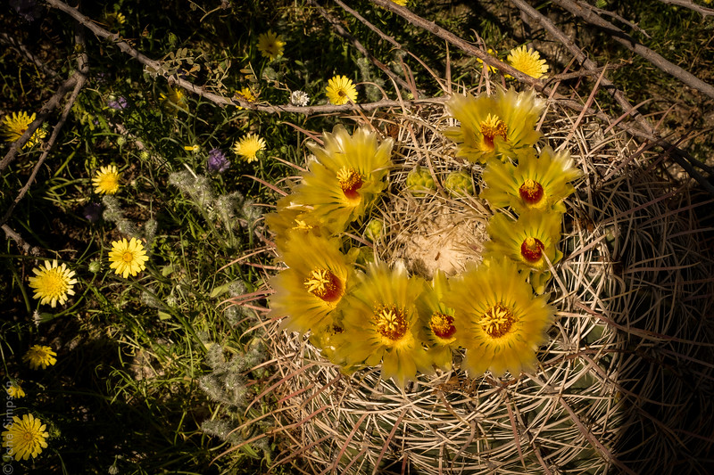 Barrel Cactus showing off