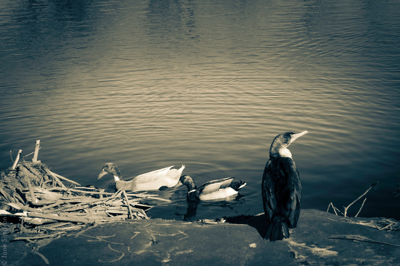 Ducks at Sepulveda Basin Wildlife Refuge