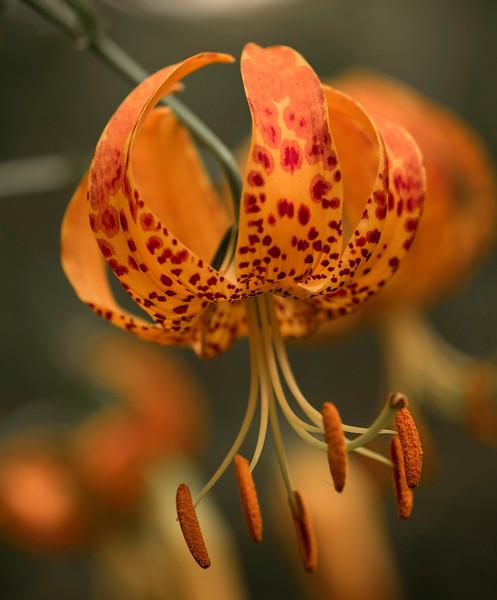 Humboldt Lily, Sta Ynez Canyon