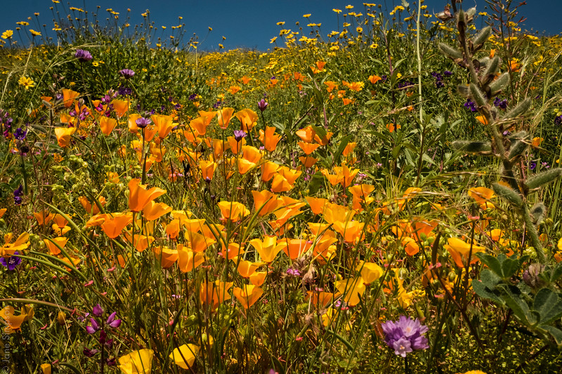 Poppies on Ray Miller