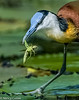 African Jacana with Grasshopper.