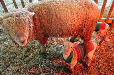 IMG_6659  lamb