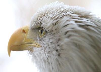 IMG_9388 bald eagle