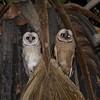 mom and juvenile barn owl