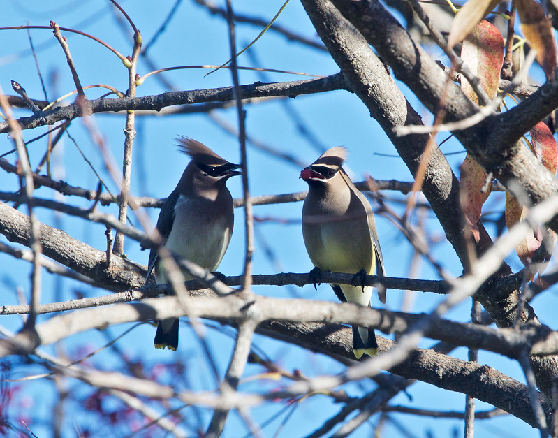 male and female cedar waxwing