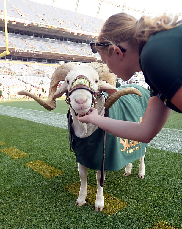 . Cam the Ram gets his game face on before the Rocky Mountain Showdown in Denver.  Cliff Grassmick / Staff Photographer/ September 1, 2017