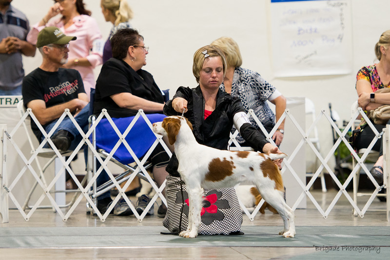ORY'S RODEO PRINCESS ROCKS CYNISTER , SR95059903 9/8/2016. Breeder: Joy and Tim and Michelle Ory. By GCH DC Ory's Marshall Dillion SH -- GCH Copley's All Fun N Games. Ryan and Cathie Magoon . Bitch.