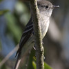 Western Wood Pewee - Ballona Fresh Water Marsh