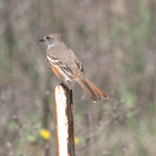 Ash-throated Flycatcher - Ballona Fresh Water Marsh