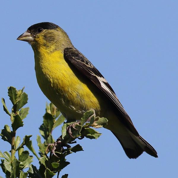 Lesser Goldfinch - Sepulveda Basin Wildlife Reserve