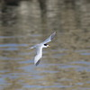 Least Tern - Ballona Creek, LA