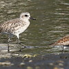 Black-bellied Plover & Dunlin - Del Rey Lagoon