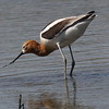 American Avocet - San Joaquin Wildlife Sanctuary (aka- Sewage treatment plant)