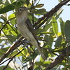 Warbling Vireo - Ballona Fresh Water Marsh