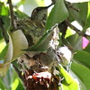 Allen's hummingbird - near Ballona Fresh Water Marsh